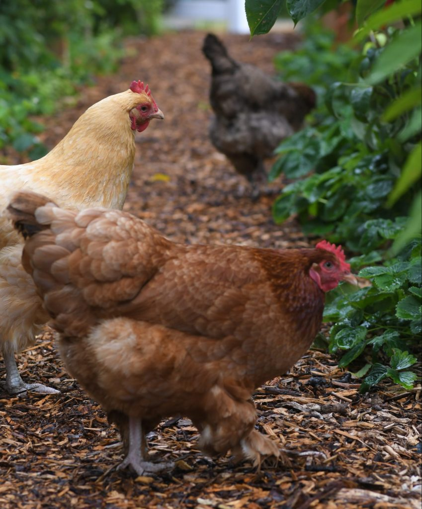 chickens foraging on the farm