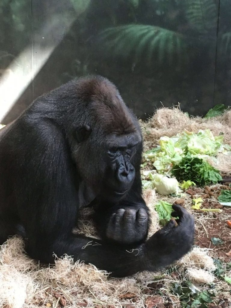watching the gorillas at Lincoln Park Zoo was one of the highlights of Chicago for our family - the kids loved it!