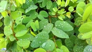 The Rain drop on the Leaf