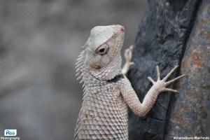 Indian chameleon-Kachindo-Girgit- Wildlife Photography