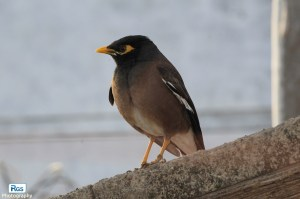 Common Myna - Confident and Invasive species(Indian Kabar)