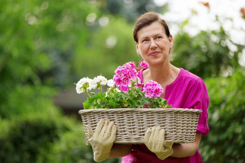 Menopausal woman carrying basket of geraniums