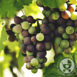 When it comes to grapes, many Moms have this query: Can I give my baby grapes? Read on to find out when and how to feed your baby this yummy fruit.