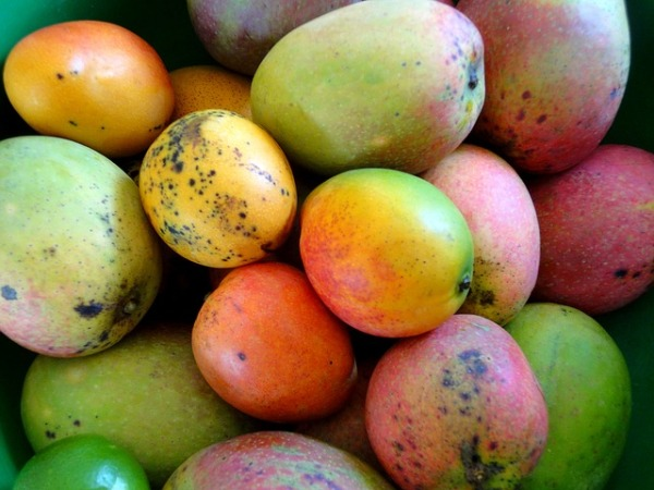 While we get ready to enjoy the season of the king of fruits, Moms of infants wonder: Can I give my Baby Mango? Let's find out if your baby can eat mangoes.
