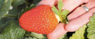Les fraises d'Europe passent à la casserole