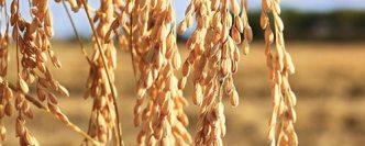 Grain-Blanc (riz), l'autre ambassadeur de la Camargue