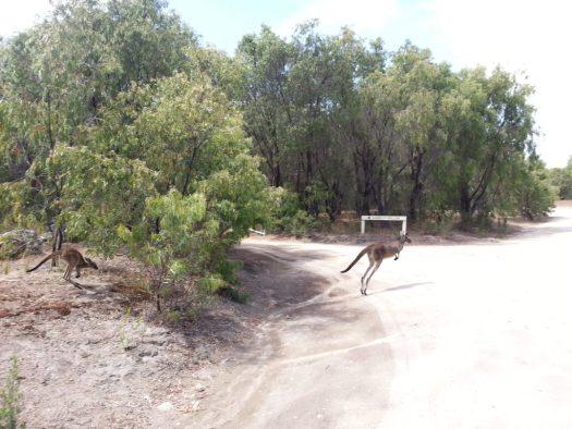 The 2 kangaroos