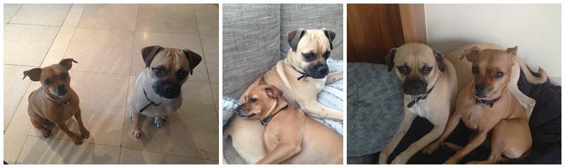 Meet my dogs… Charlie & Ferguson