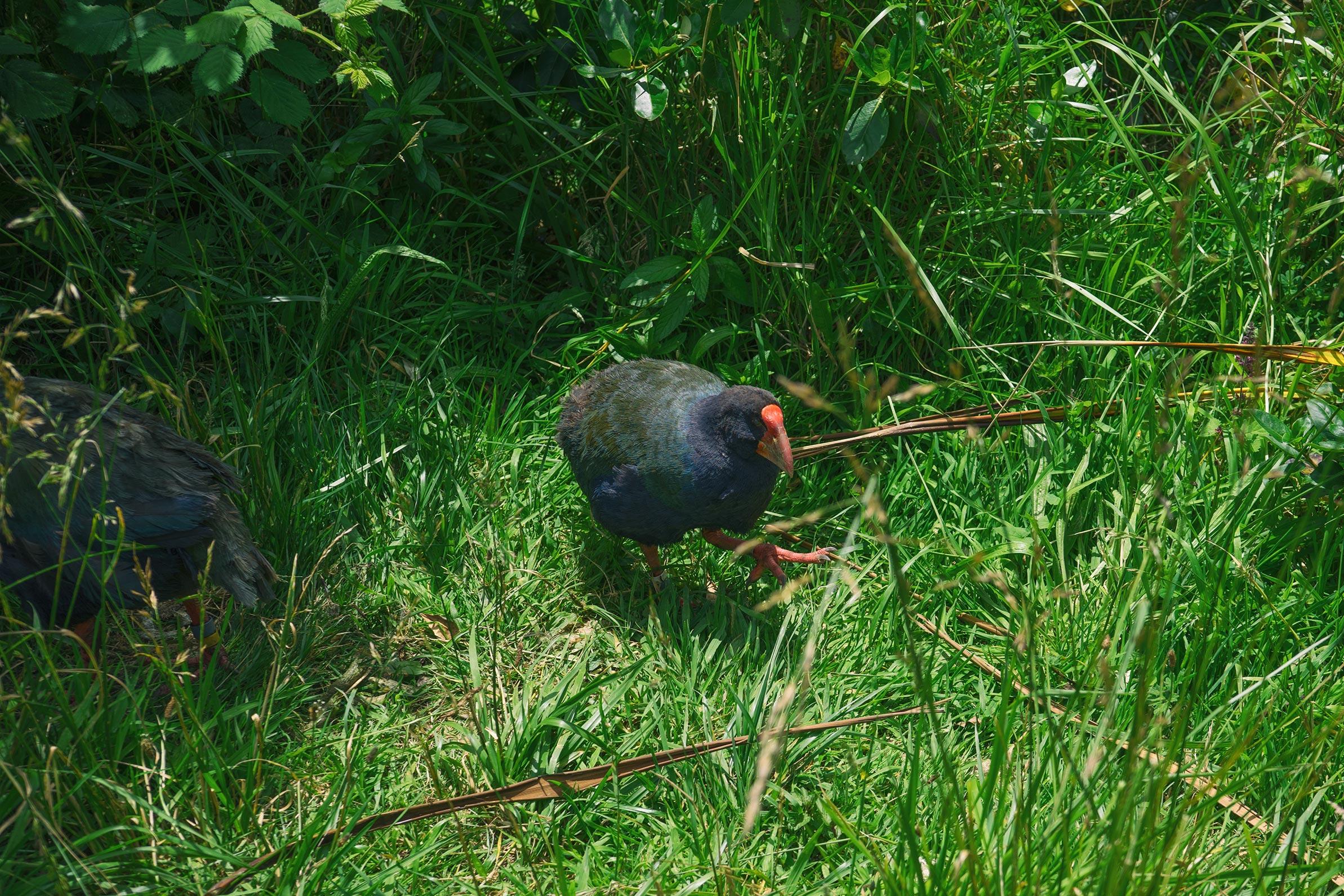 Zealandia Takahe Bird