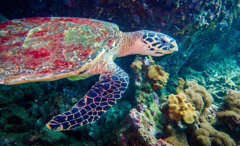 Hawk-bill turtle Ko Phi Phi