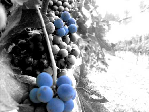 barbera grape