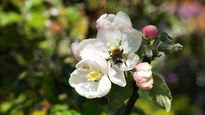 Bumble Bee bottom up in apple blossom, by Melanie Gow, http://www.myofficetoday.co.uk