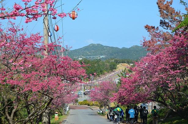 (2018年版)日本最早的櫻花祭來了!沖繩「本部八重岳桜まつり」及「名護さくら祭り」等,1月中陸續開催。