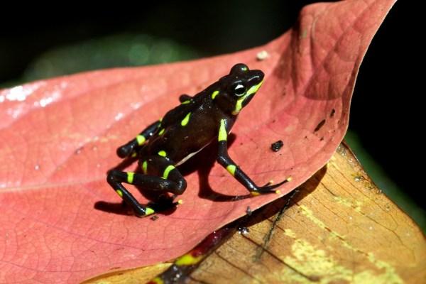 Лягушка арлекин - Удивительный Мир Животных