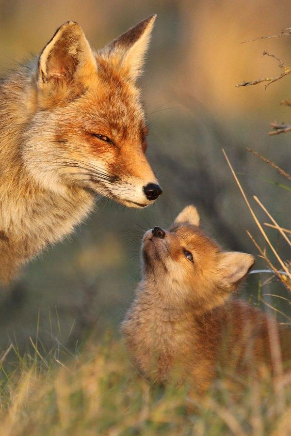 Удивительные фотографии лисиц в дикой природе