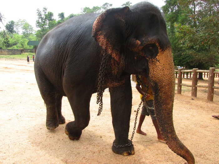 Elephants carried chains around their neck and on their legs