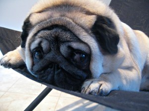 5 Highly Aloof and Independent Dog Breeds | My Puppy Club