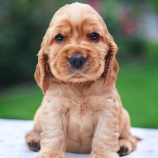 How Much Does Buying a Puppy Really Cost?