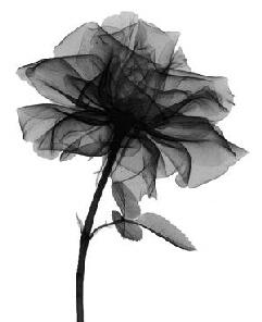 black rose scan