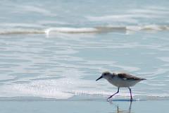 seaside sandpiper