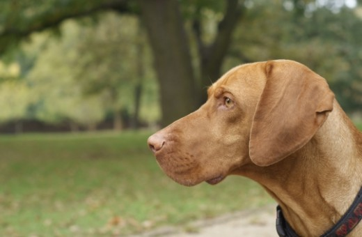Vizsla, loyal, affectionate, and fearless is beloved by his owners