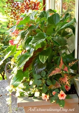 How-to-plant-a-window-box-garden-Dragon-Wing-Begonias-AnExtraordinaryDay.net_
