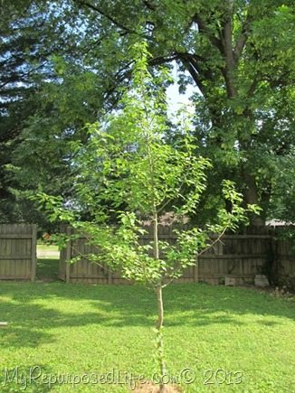 pear tree I grew from a sprout