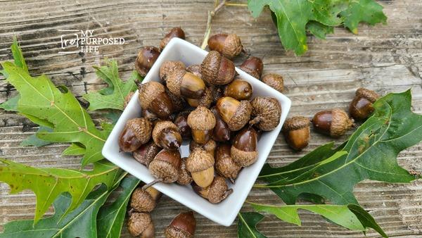 acorns sprayed with sealer MyRepurposedLife
