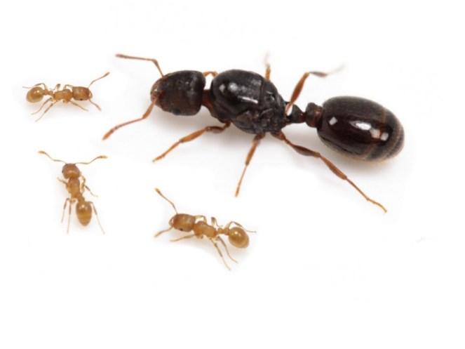 Tetramorium Queen with Workers