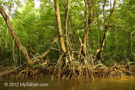 mangrove trees with stilt roots