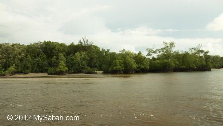 mangrove forest on the shore