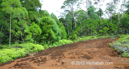 red soil in Tawai Forest Reserve