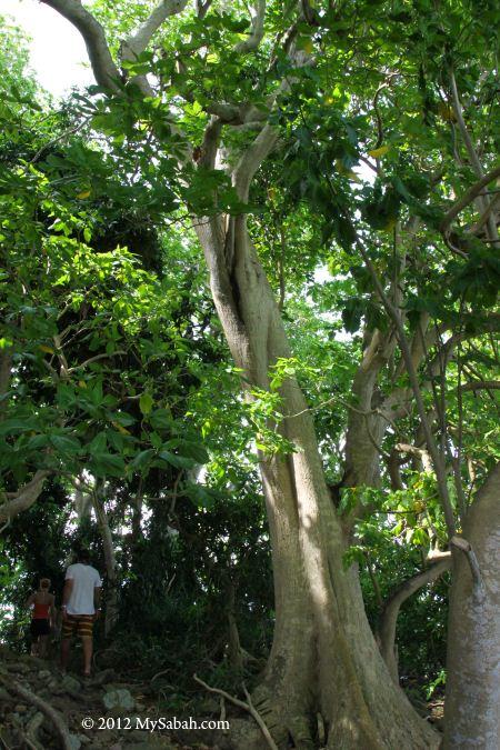 forest of Snake Island (Pulau Kalampunian Damit)