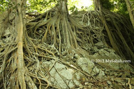 tree roots of Pulau Ular