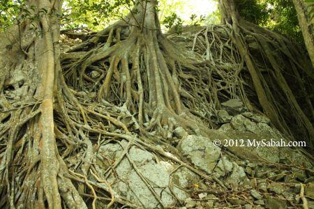 tree roots of Pulau Ular