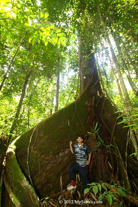 tree with huge buttress in Imbak forest