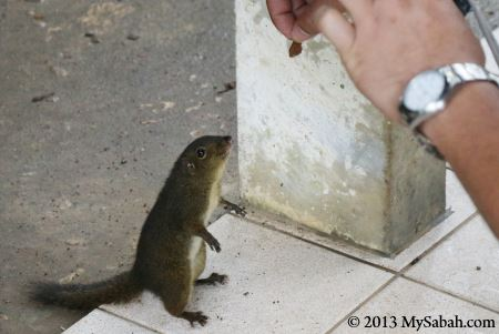 Pygmy Squirrel
