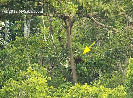 orangutan at Kinabatangan