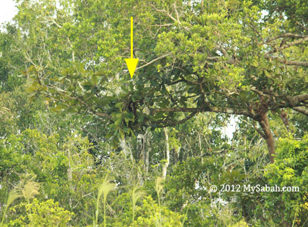 orangutan making nest