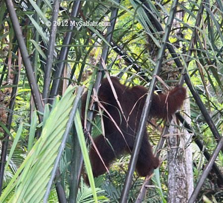 orangutan in the swamp