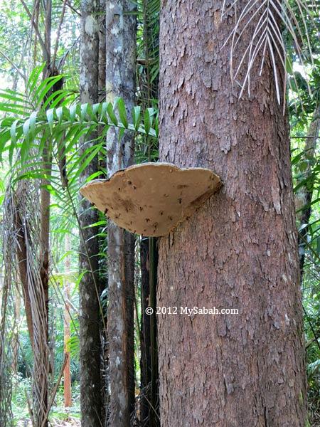 huge fungus on tree