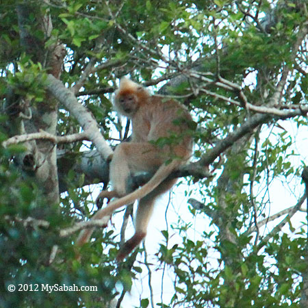 Presbytis cristata on the tree