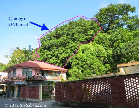 big canopy of Banyan tree