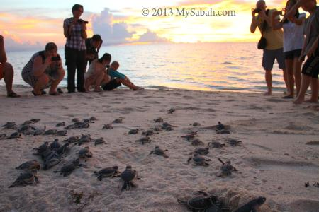 baby turtles running to the sea
