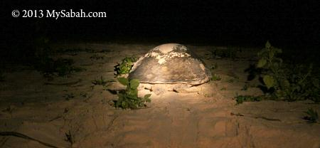 mother turtle returning to the sea