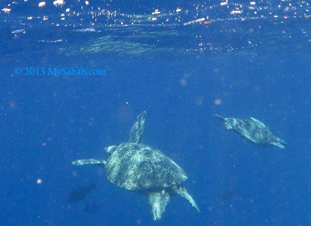 sea turtles in Sipadan