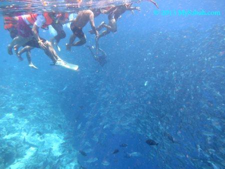 thousands of Jackfish