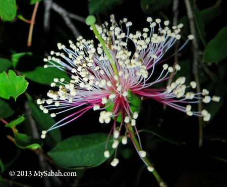Apple Mangrove