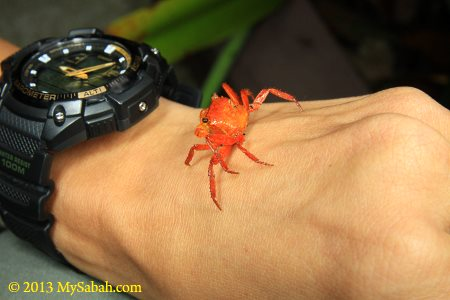 red land crab of Mt. Silam