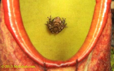 frog inside pitcher plant